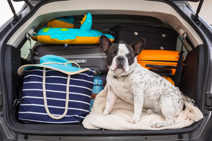 A dog sits ready for a car trip to the beach